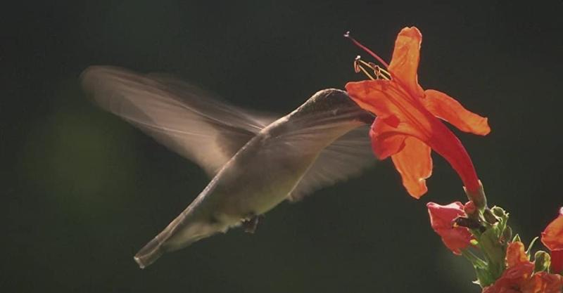 Hummingbirds Jeweled Messengers still